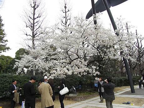 ほぼ満開!開花もピークを迎えつつある上野公園