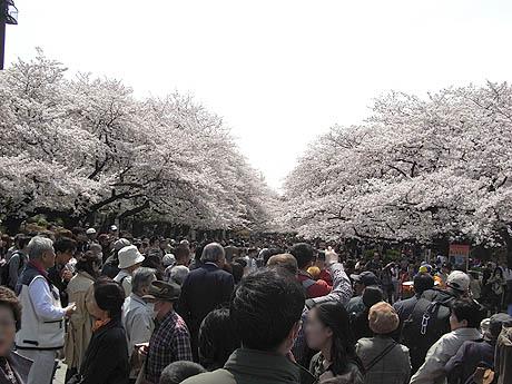 桜が散り舞う上野公園の花見風景レポート