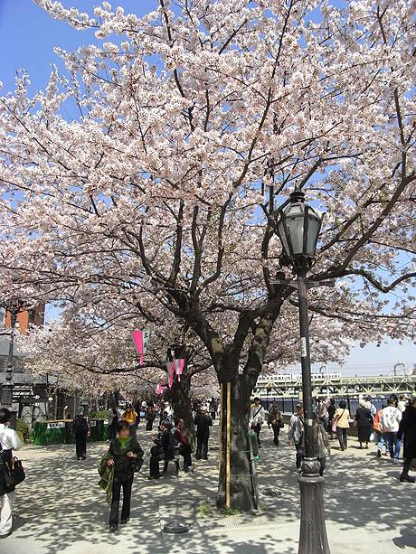 散る桜に大きなどよめき@隅田公園