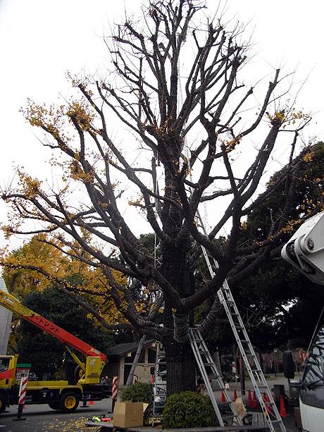 西郷隆盛像の横にある大樹に電飾が取り付けられます